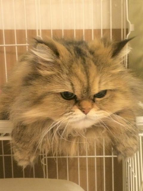 猫をケージに8時間は大丈夫?適切な時間とストレスについて解説